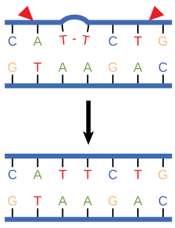 Illustration shows a DNA strand in which a thymine dimer has formed. Excision repair enzyme cut out the section of DNA that contains the dimer so it can be replaced with normal base pairs.