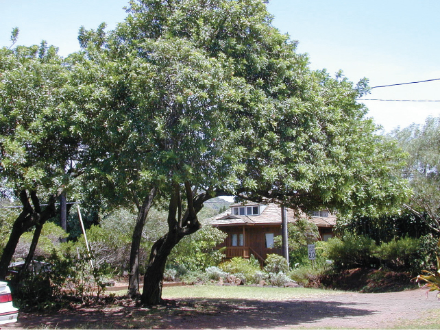 A photo of a tree with a trunk of average diameter and a large crown grows near a house.