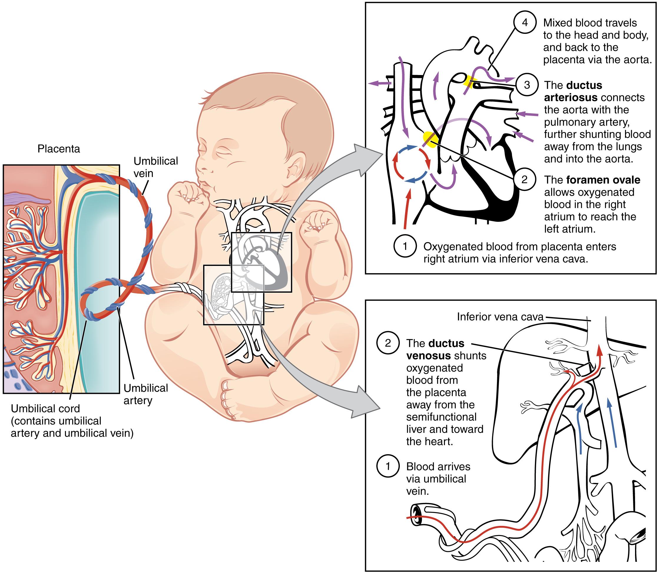 This figure shows a baby in the center of the image. To the left, is a panel showing the umbilical cord and how blood is supplied to the baby in the womb. Two panels on the right show the circulation of blood inside the baby's body.