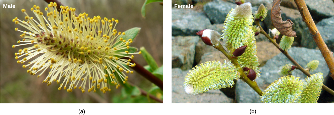 These male (a) and female (b) catkins are from the goat willow tree (Salix caprea).
