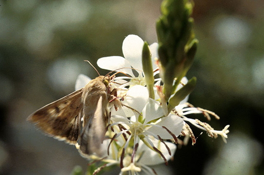 A corn earworm sips nectar from a night-blooming Gaura plant.