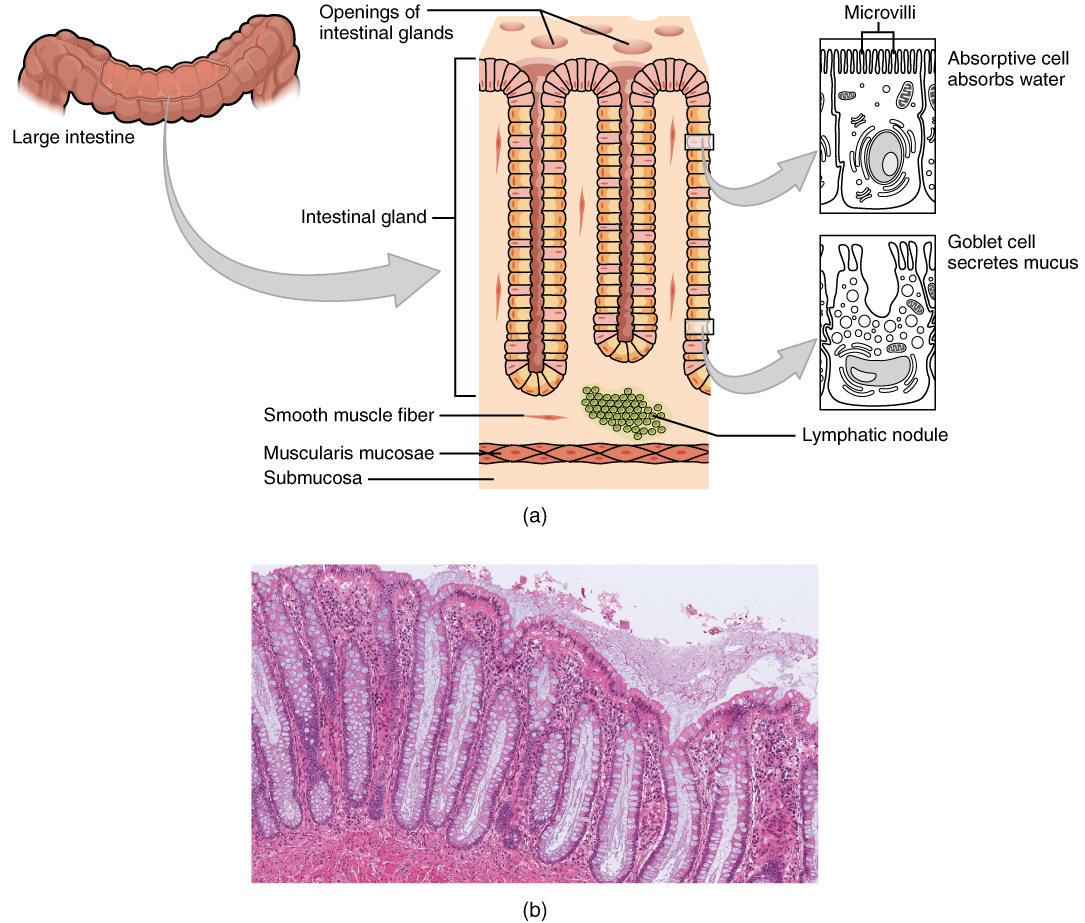 This image shows the histological cross section of the large intestine. The left panel shows a small region of the large intestine. The center panel shows a magnified view of this region, highlighting the openings of the intestinal glands. The right panel shows a further magnified view, with the microvilli and goblet cells.