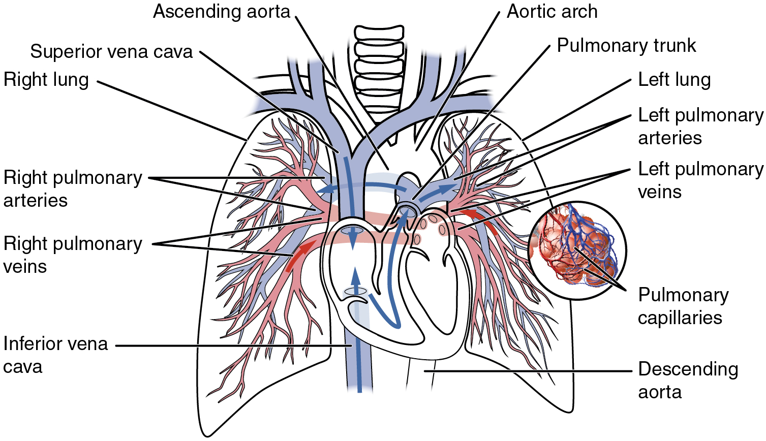 Circulatory pathways this diagram shows the network of blood vessels in the lungs pooptronica