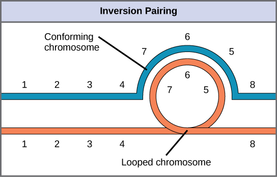 When one chromosome undergoes an inversion but the other does not, one chromosome must form an inverted loop to retain point-for-point interaction during synapsis.