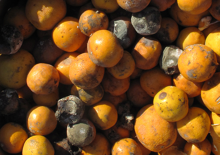 A photograph of a box of moldy oranges.