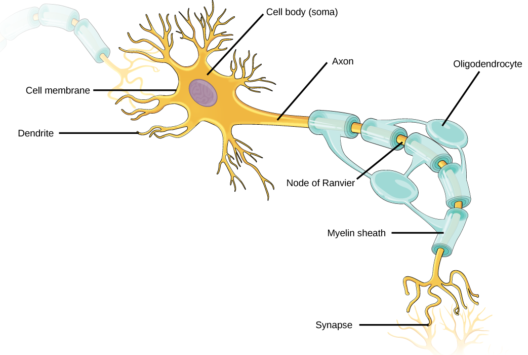 Research Identifies Complex Of Neurons Crucial To Controlling Attention >> Neurons And Glial Cells Boundless Biology