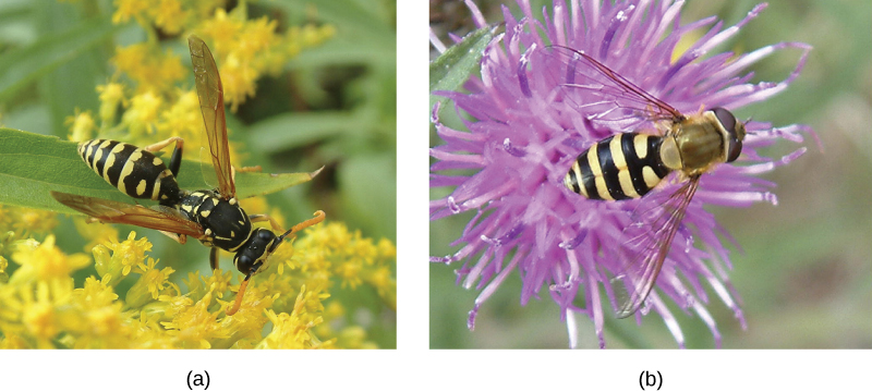Photos A and B show what appears to be virtually identical looking wasps, but B is actually a harmless hoverfly.