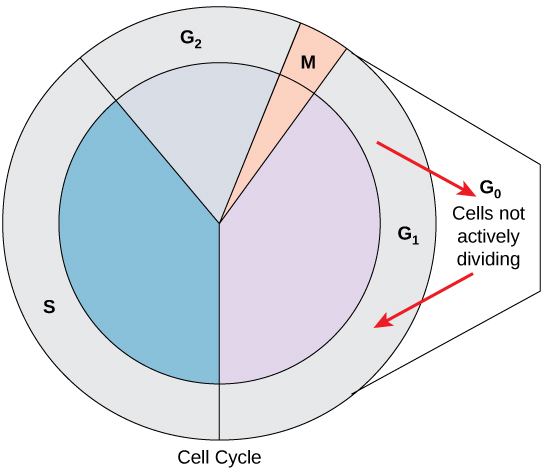 Identify Each Phase Of The Cell Cycle The cell cycle is shown in a