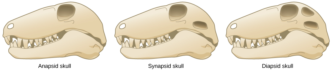The illustration compares three different skull types. All three skulls are elongated and similar in shape; the only difference between them is the number of holes behind the eye. The anapsid skull (left) has no openings. The synapsid skull (middle) has one opening, and the diapsid skull (right) has two openings, one on top of the other.