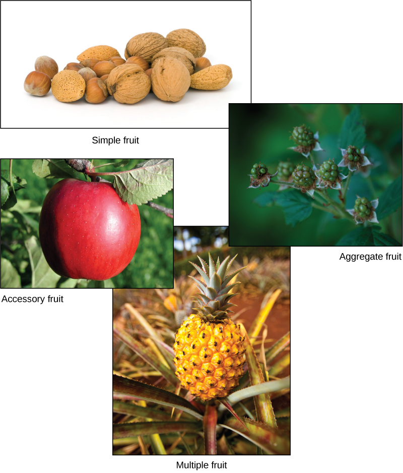 There are four main types of fruits
