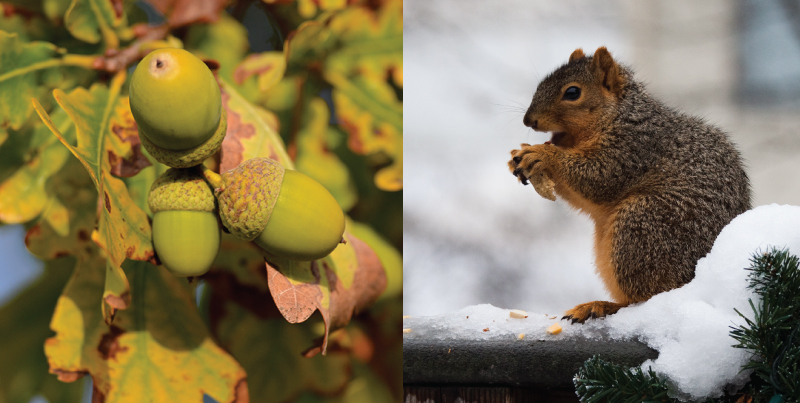 The photo on the left shows acorns growing on an oak tree. The photo on the right shows a squirrel eating.