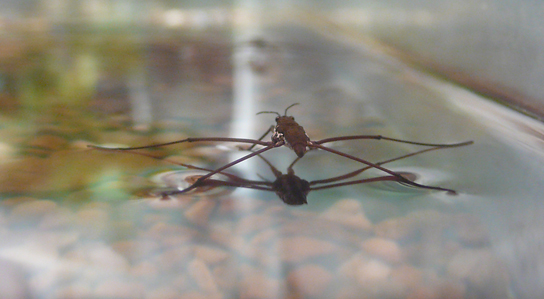 Photo shows an insect with long, thin legs standing on the surface of water.