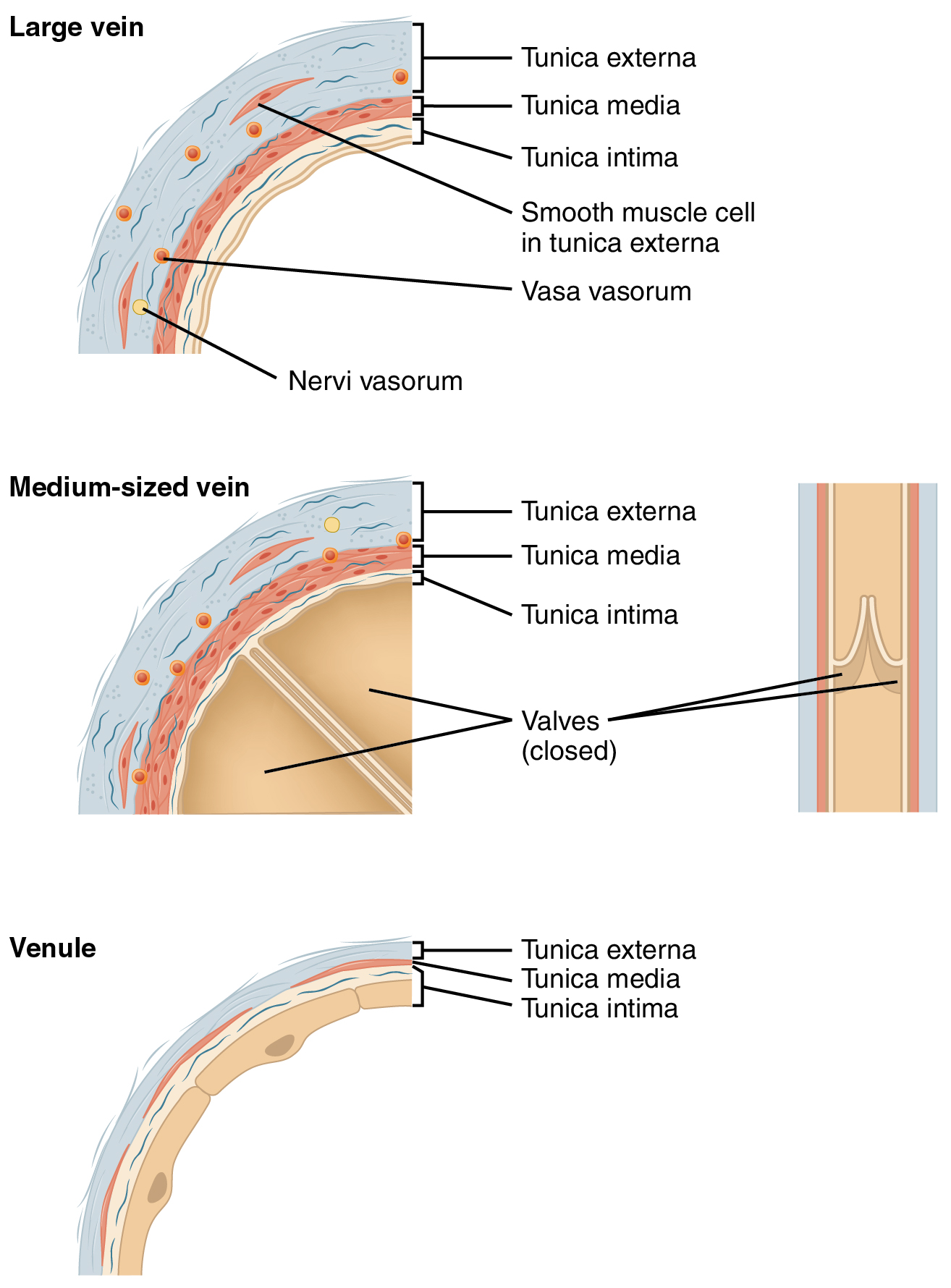 Structure and function of blood vessels the top panel shows the cross section of a large vein the middle panel pooptronica