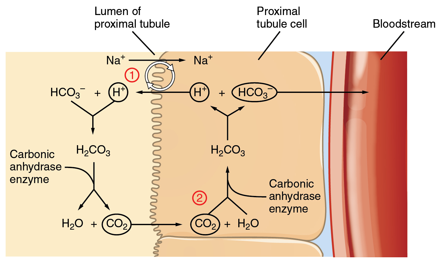 This Diagram Depicts A Cross Section Of The Left Wall Of A Kidney Proximal  Tubule