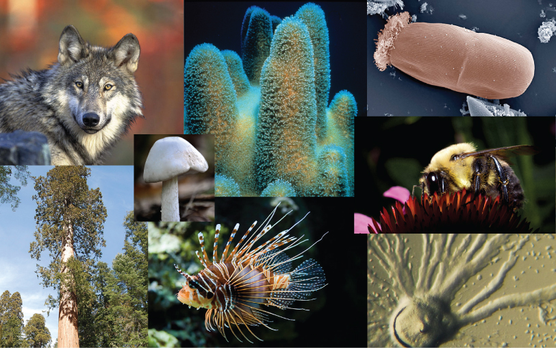 Photo collage shows a wolf, a cucumber-shaped protozoan, a sea sponge, a slime mold, lichen, the shore of a lake with algae and trees, a spiny lion fish, a mushroom, a sequoia tree and a bumblebee drinking nectar from a flower.