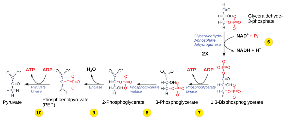 The second half of glycolysis...