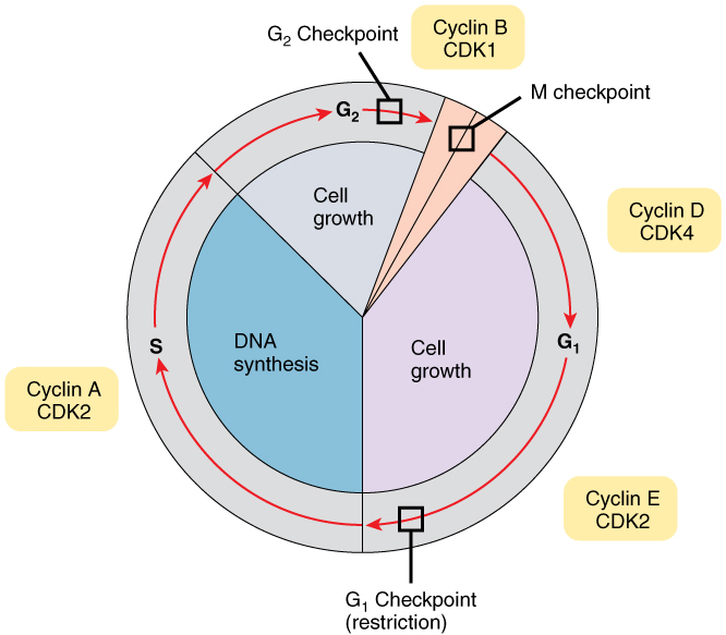 This image shows the different stages of the cell cycle along with the checkpoints between them and the cyclins responsible for the checkpoint at each stage.