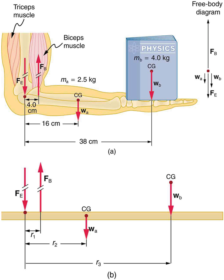 Forces and Torques in Muscles and Joints