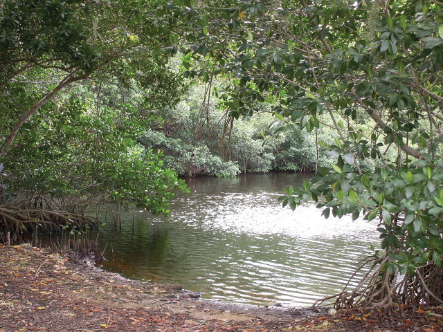 Shown are mangrove trees shading a pool of water. They form a low canopy with elliptical leaves. Their roots are partially above ground and look rather gnarly.