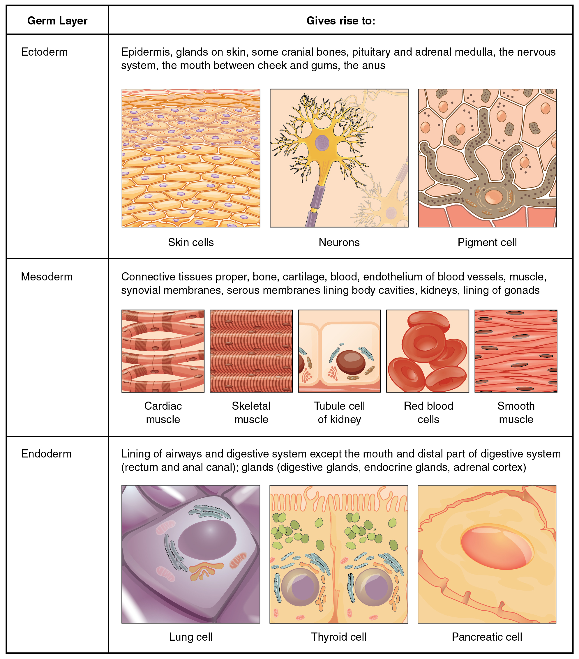 4.1 Types of Tissues: Sanzin-Anatomy Honors-260751A-3(A)-S1