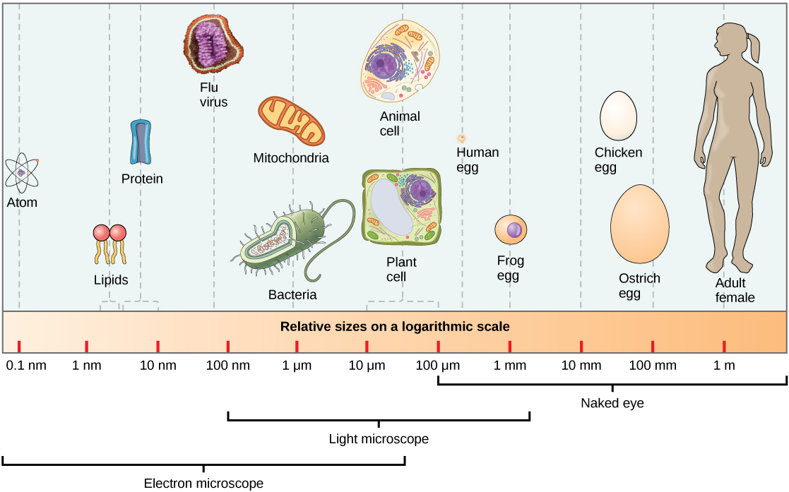 Part a: Relative sizes on a logarithmic scale, from 0.1 nm to 1 m, are shown. Objects are shown from smallest to largest. The smallest object shown, an atom, is about 1 nm in size. The next largest objects shown are lipids and proteins; these molecules are between 1 and 10 nm. Bacteria are about 100 nm, and mitochondria are about 1 greek mu m. Plant and animal cells are both between 10 and 100 greek mu m. A human egg is between 100 greek mu m and 1 mm. A frog egg is about 1 mm, A chicken egg and an ostrich egg are both between 10 and 100 mm, but a chicken egg is larger. For comparison, a human is approximately 1 m tall.