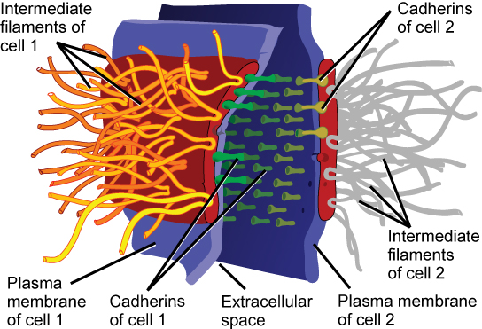 This illustration shows two cells fused together by a desmosome. Cadherins extend from each cell and join the two cells together. Intermediate filaments connect to cadherins on the inside of the cell.