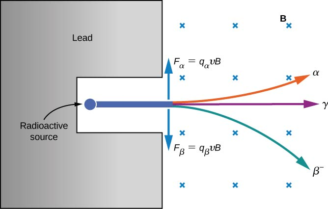 Figure shows a C-shaped material labeled lead. A small circle labeled radioactive source is shown in the hollow of the C-shape. Three rays radiate from this source towards the right. One curves upwards and is labeled alpha. One goes straight and is labeled gamma. The third curves downwards and is labeled beta minus. Magnetic field is shown as crosses. Two arrows originate from near the point where the rays emerge from the C-shape. The upwards pointing arrow is labeled F subscript alpha = q subscript alpha v B. The downwards pointing arrow is labeled F subscript beta = q subscript beta v B.