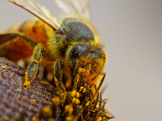 Insects, such as bees, are important agents of pollination