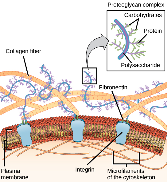 This illustration shows the plasma membrane. Embedded in the plasma membrane are integral membrane proteins called integrins. On the exterior of the cell is a vast network of collagen fibers. The fibers are attached to the integrins via a protein called fibronectin. Proteoglycan complexes also extend from the plasma membrane to the extracellular matrix. A close-up view shows that each proteoglycan complex is composed of a polysaccharide core. Proteins branch from this core, and carbohydrates branch from the proteins. The inside of the cytoplasmic membrane is lined with microfilaments of the cytoskeleton.