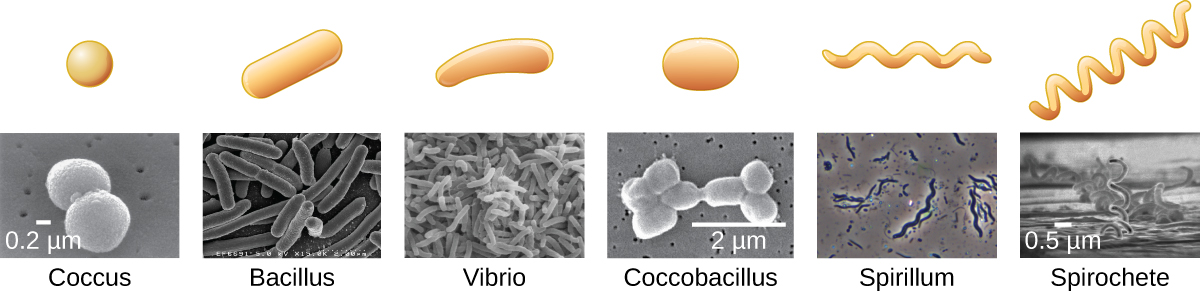 Each shape designation includes a drawing and a micrograph. Coccus is a spherical shape. Bacillus is a rod shape. Vibrio is the shape of a comma. Coccobacillus is an elongated oval. Spirillum is a rigid spiral. Spirochete is a flexible spiral.
