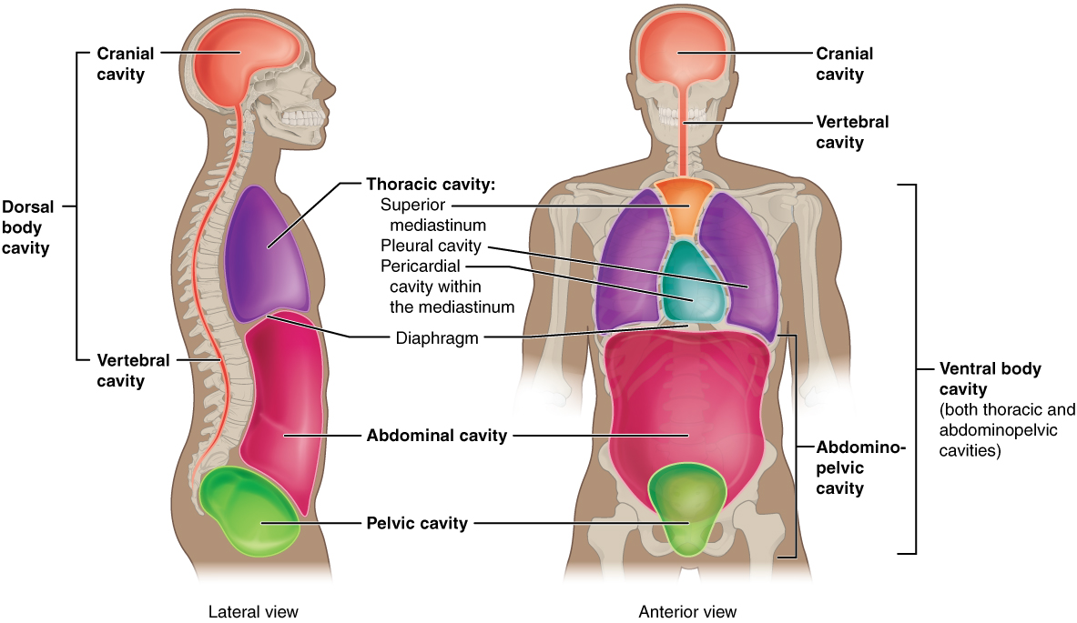 shows a lateral and anterior view of the body and highlights the body ...