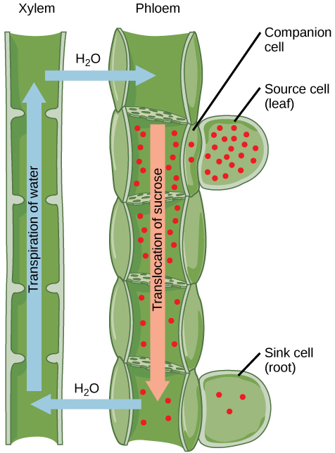 translocation plant physiology and phloem water potentials essay