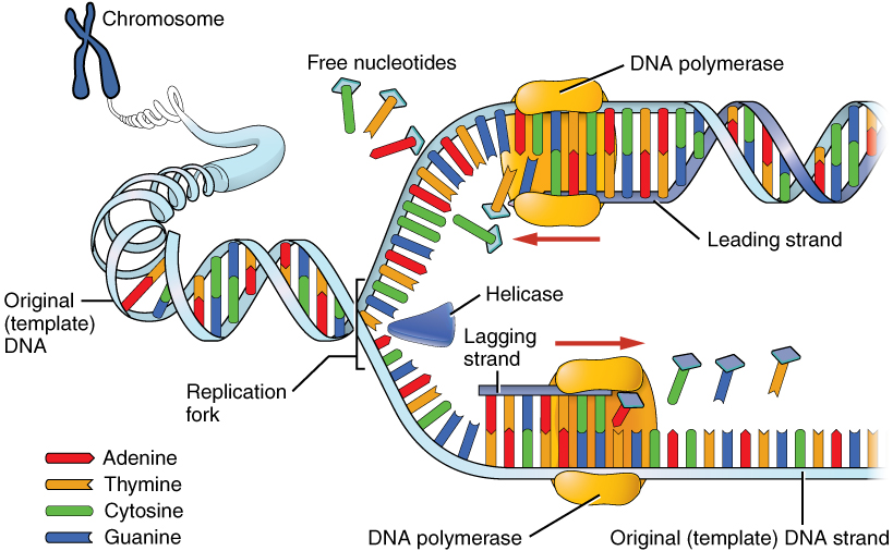 This image shows the process of DNA replication. A chromosome is shown expanding into the original template DNA and unwinding at the replication fork. The helicase is present at the replication fork. DNA polymerases are shown adding nucleotides to the leading and lagging strands.