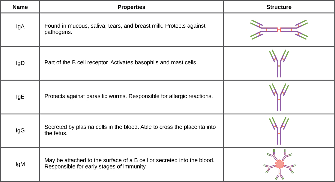 Table shows the structure and function of the five types of immunoglobulins: IgA, IgD, IgE, IgG and IgM. IgD, IgA and IgG all have a Y-shaped structure. IgD is part of the B cell receptor, and activates basophils and mast cells. IgE protects against parasitic worms, and is responsible for allergic reactions. IgG is secreted by plasma cells in the blood, and is able to cross the placenta into the fetus. IgA consist of two Y-shaped structures connected at their trunk. It is found in mucous, saliva, tears and breast milk, and protects against pathogens. IgM consists of five Y-shaped structures connected to a pentagram, with the top of the Ys facing out. It may be attached to the surface of B cells or secreted in the blood, and is responsible for the early stages of immunity.