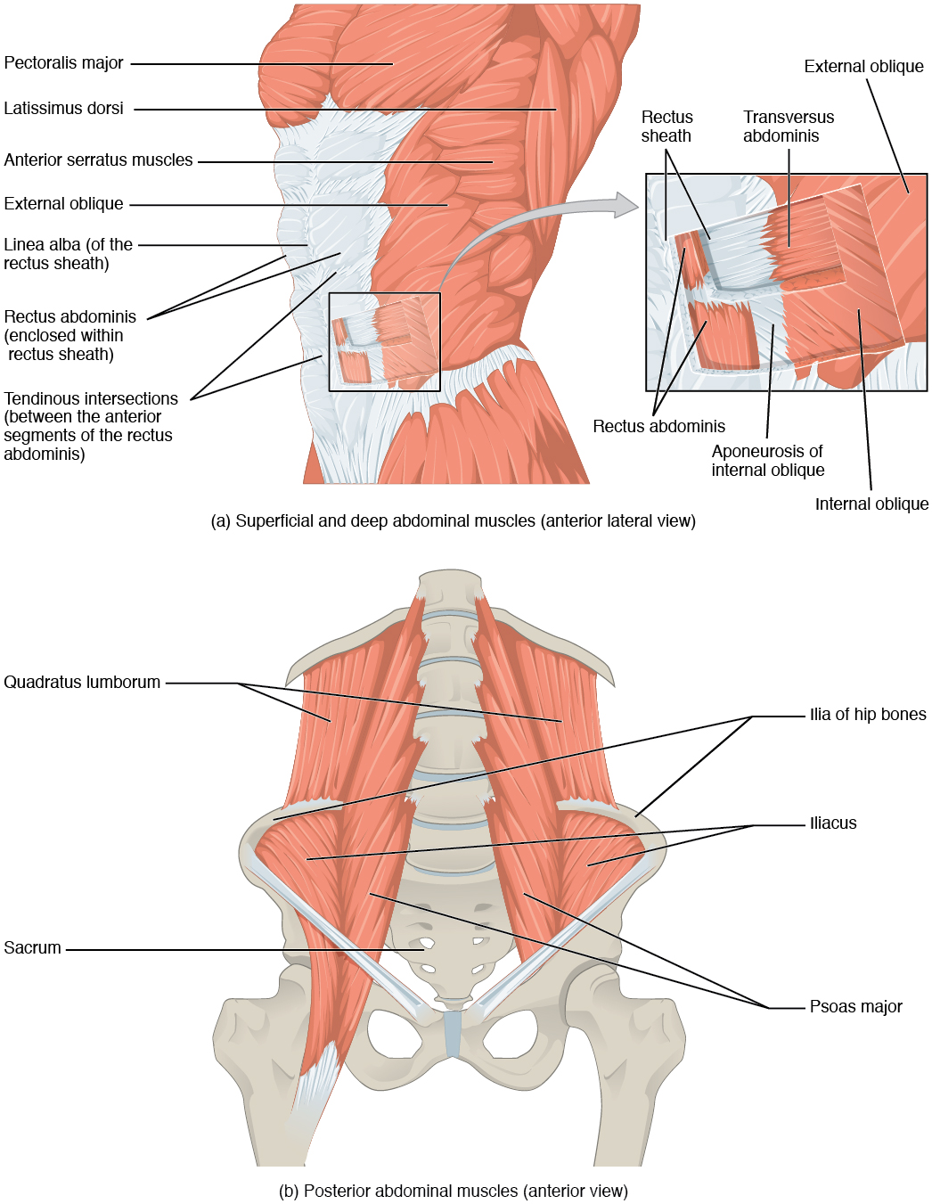 Axial Muscles of the Abdominal Wall and Thorax - Anatomy ...