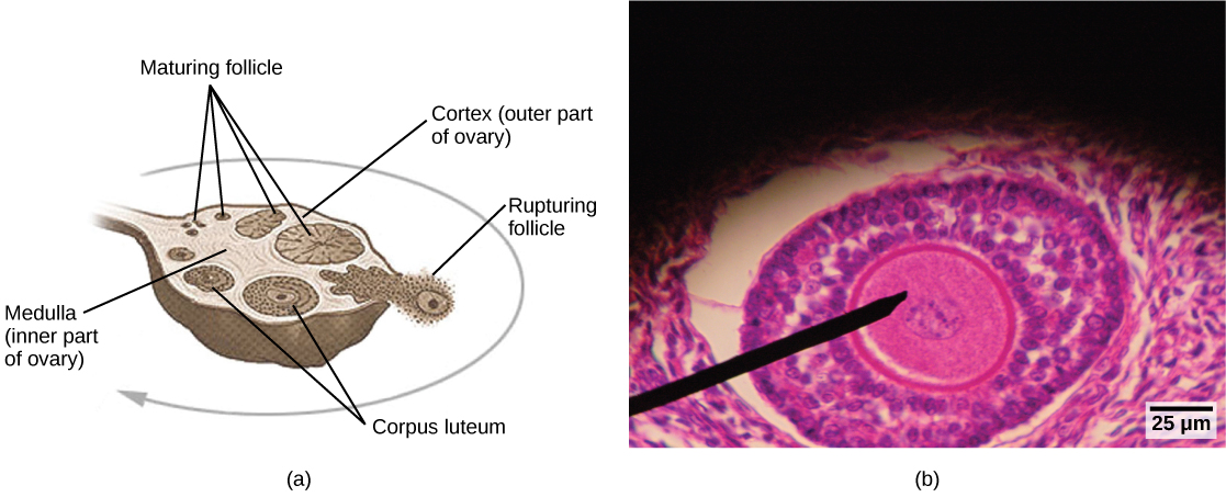 Illustration A shows a cross section of a human ovary, which is oval with a stem-like structure at one end that anchors it to the uterus. The central part of the ovary is the medulla, and the outer part is the cortex. Follicles exist in the cortex. Small, immature follicles are located near this stem-like structure. As a follicle matures, it grows and moves toward the edge of the ovary opposite the stem, it ruptures, releasing the egg. The follicle is now called a corpus luteum. The corpus luteum matures and moves back toward the stem, along the opposite edge of the ovary from which the follicle matured. The corpus luteum shrinks and eventually disintegrates. The light micrograph shows an oval follicle with a large oocyte located at the center. Around the oocyte are much smaller cells.