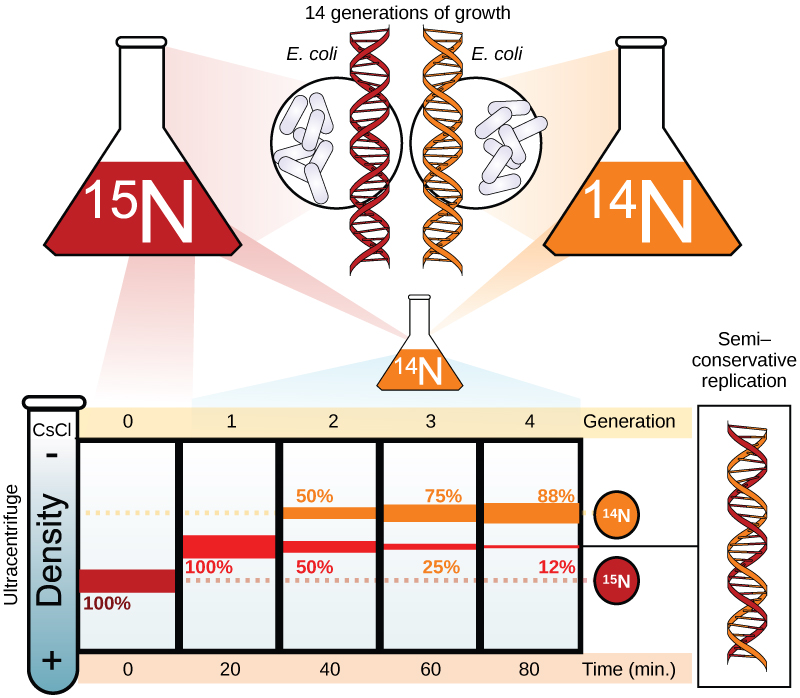 Meselson and Stahl experimented with E. coli grown first in heavy nitrogen (15N) then in 14N...