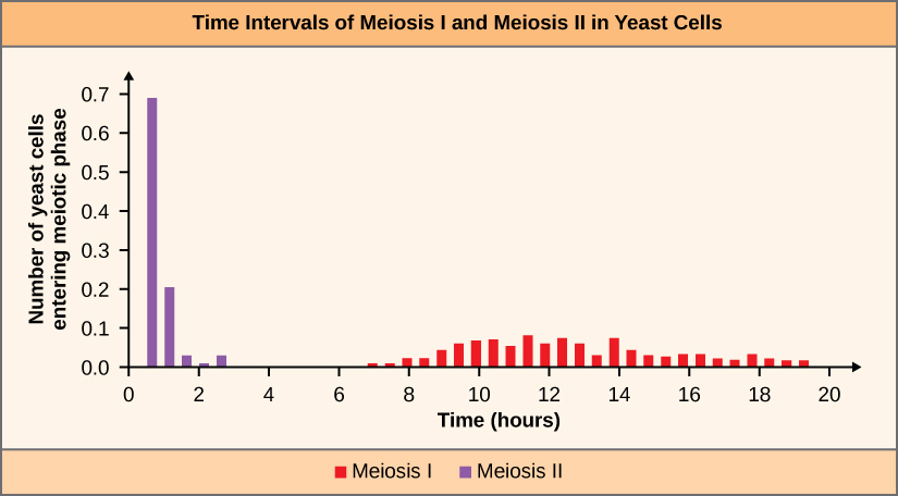 The figure is a bar graph titled Time intervals of Meiosis I and Meiosis II in Yeast Cells. The x-axis is labelled time in hours. The y-axis is labelled Number of yeast cells entering meiotic phase.  The x-axis has tick marks for 0, 2, 4, 6, 8, 10, 12, 14, 16, 18, 20. The y-axis has tick marks for 0.0, 0.1, 0.3, 0.4, 0.5, 0.6. 0.7. A key on the bottom states that red represents meiosis I and purple represents meiosis II. There are four purple bars . The first three purple bars are between 0 and 2 on the x-axis. The fourth purple bar is between 2 and 4 on the x-axis. The first purple bar reaches 0.7 on the y-axis, the second reaches 0.2 on the y axis, and the third and the fourth purple bars fall between 0.0 and 0.1.  There are 26 red bars that fall between 7 and 19 on the x axis. There is some variance in height for the red bars, with all the bars falling between 0.0 and 0.1 on the y axis.