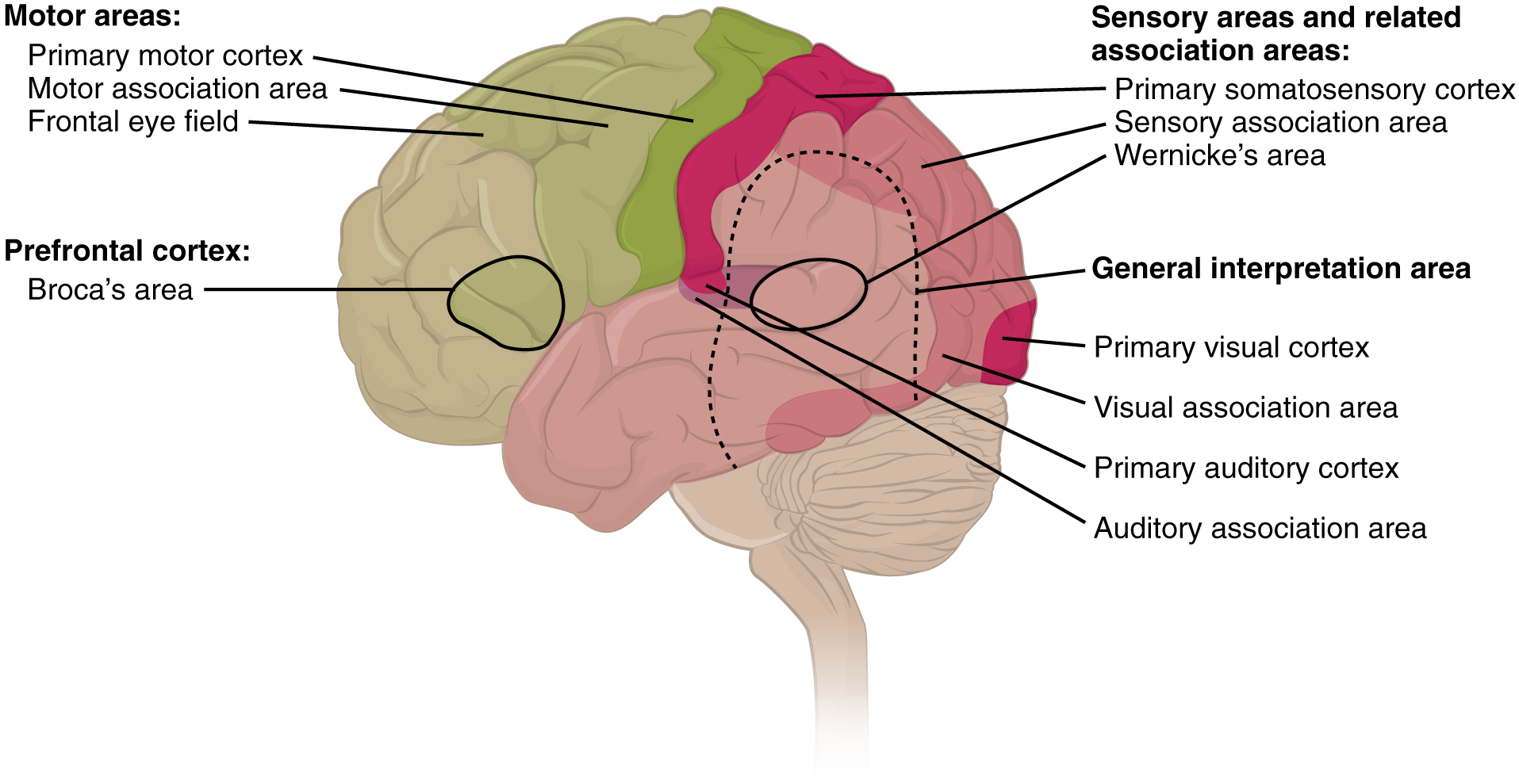 This figure shows the brain with the different regions colored differently. Text callouts from each region show the function of that particular region.