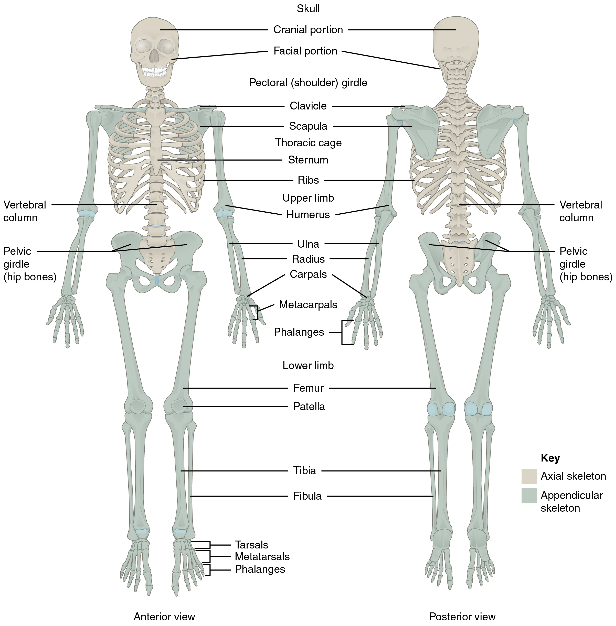 divisions of the skeletal system, Human Body