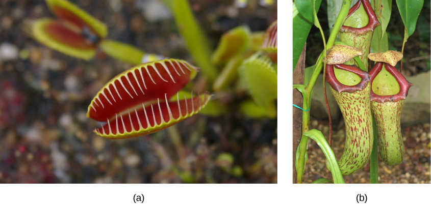 Tropical Rainforest Venus Fly Trap Plants Venus Fly Trap
