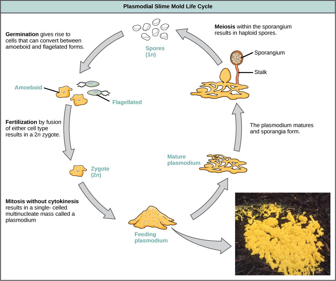 Classification Of Protists Biology Ii Seed Germination Diagram Annotate The Below To Illustration Shows Plasmodium Slime Mold Life Cycle Which Begins When 1n Spores Germinate