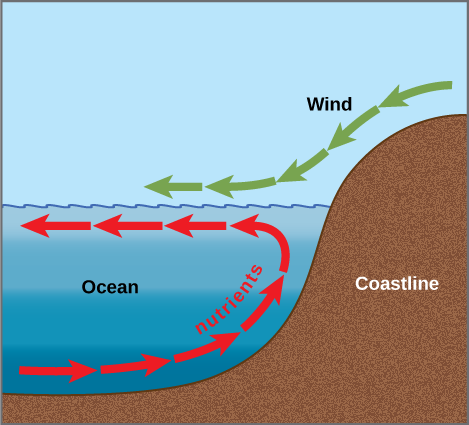 Arrows in the illustration indicate that the prevailing wind direction is from the coastline toward the open ocean. The wind pushes the surface water away from shore, inducing a current in this direction. A counter-current flows from the depths toward shore, where it meets the surface current. The counter-current brings nutrients from the depths up toward the surface near the shoreline.