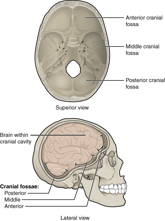 This Figure Shows The Structure Of The Cranial Fossae. The Top Panel Shows  The Superior