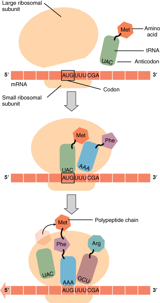 The top part of this figure shows a large ribosomal subunit coming into contact with the mRNA that already has the small ribosomal subunit attached. A tRNA and an anticodon are in proximity. In the second panel, the tRNA also binds to the same site as the ribosomal subunits. In the bottom panel, a polypeptide chain is shown emerging from the complex.