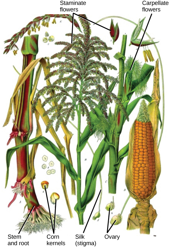 The corn plant has both staminate (male) and carpellate (female) flowers.