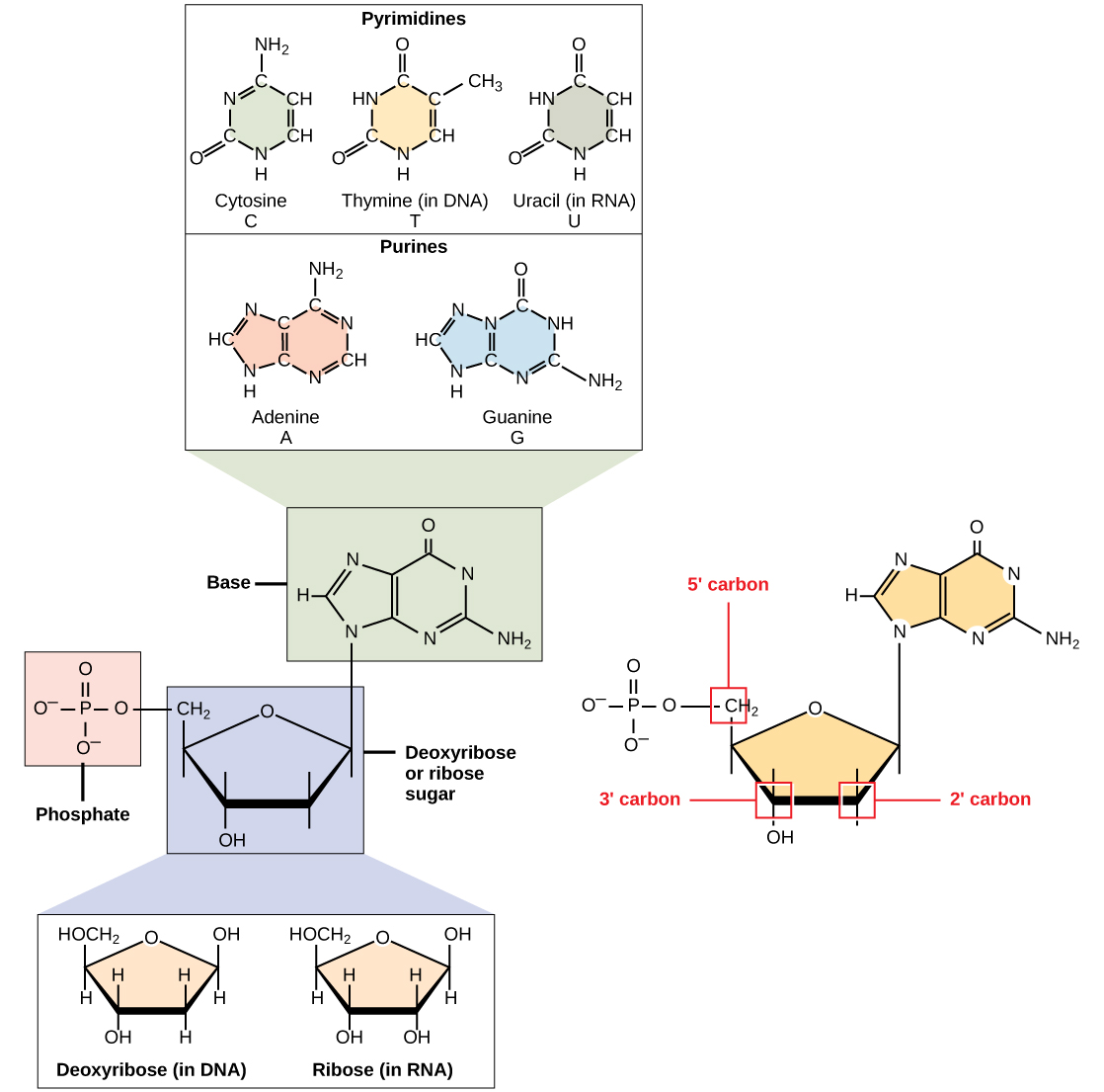 The molecular structure of a nucleotide is shown. The core of the nucleotide is a pentose whose carbon residues are numbered one prime through five prime. The base is attached to the one prime carbon, and the phosphate is attached to the five prime carbon. Two kinds of pentose are found in nucleotides: ribose and deoxyribose. Deoxyribose has an H instead of OH at the two prime position. Five kinds of base are found in nucleotides. Two of these, adenine and guanine, are purine bases with two rings fused together. The other three, cytosine, thymine and uracil, have one six-membered ring.