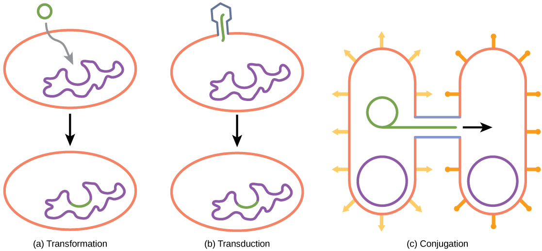 Illustration A shows a small, circular piece of DNA being absorbed by a cell. Illustration C shows a bacteriophage injecting DNA into a prokaryotic cell. The DNA then gets incorporated in the genome. Illustration C shows two bacteria connected by a pilus. A small loop of DNA is transferred from one cell to another via the pilus.