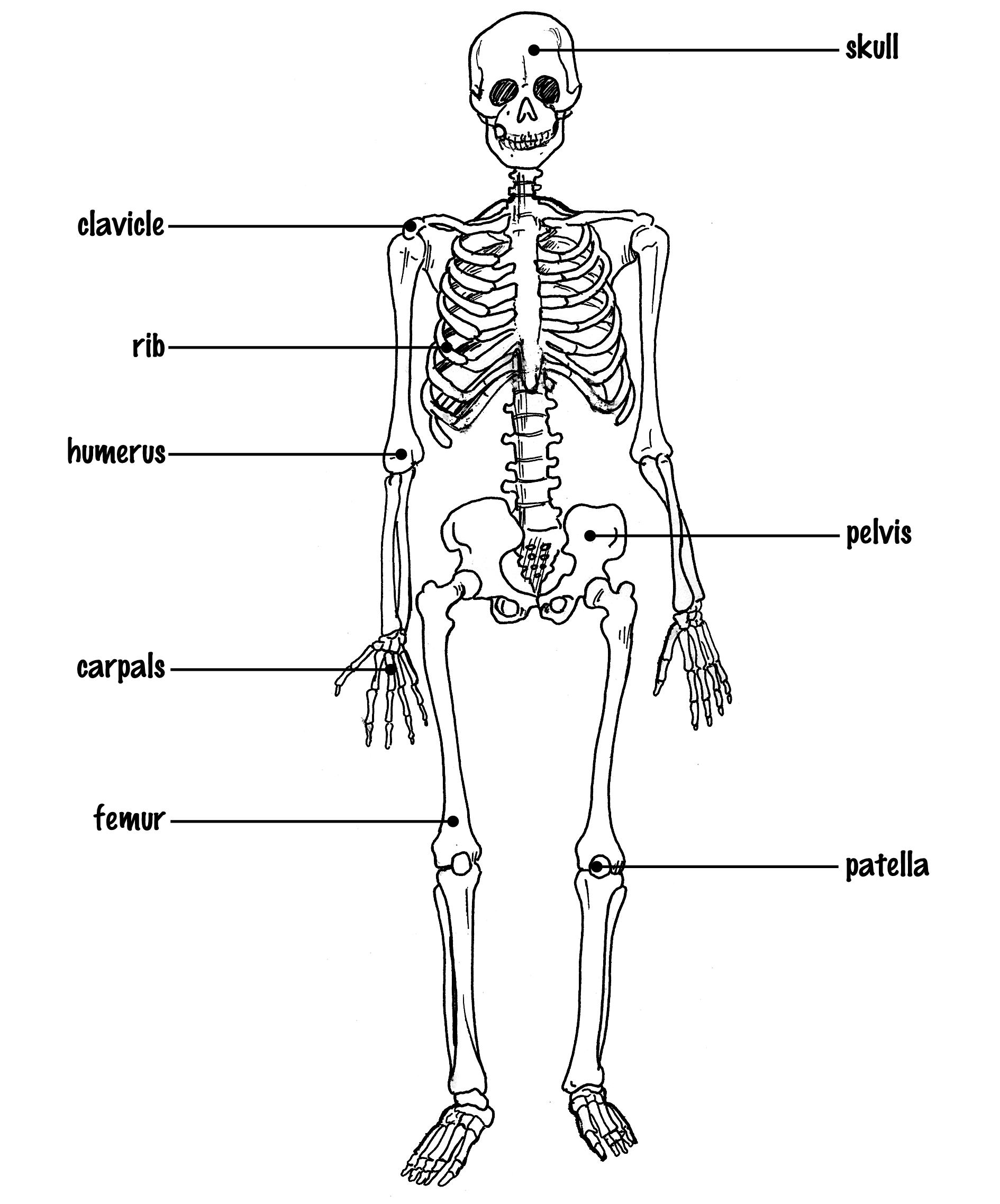a human skeleton diagram – lickclick, Skeleton