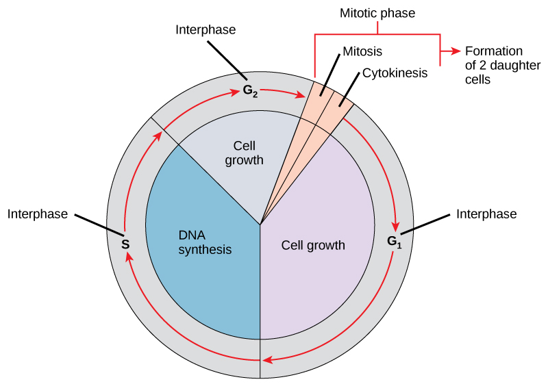 The cell cycle consists of interphase and the mitotic phase